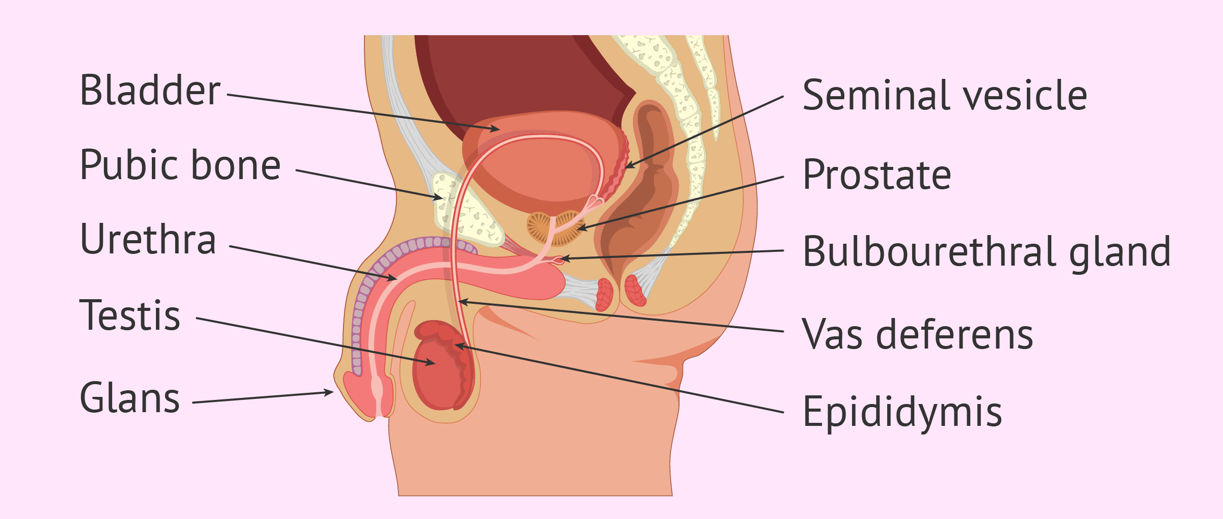 ENLARGED PENIS HEAD OR BALANITIS ALL YOU NEED TO KNOW